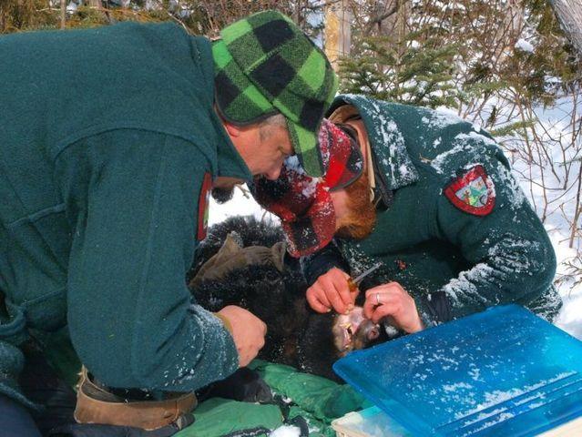 Maine Bear Monitoring 2009 (24 pics)