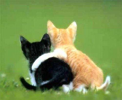 Cats in love (31 pics)