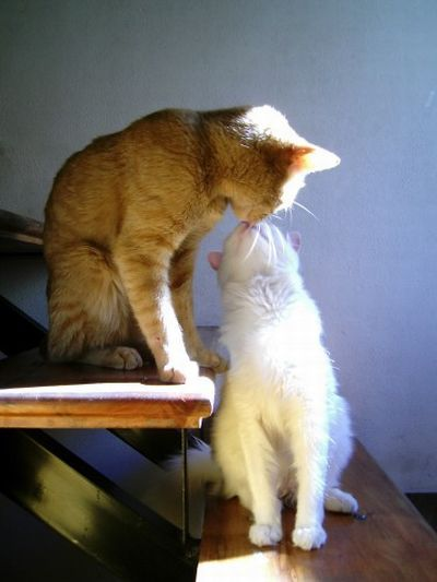 Cats in love (31 pics)