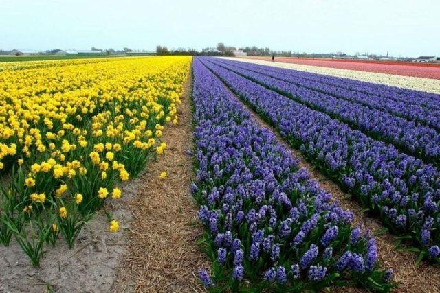 Tulip fields in Holland (43 photos)