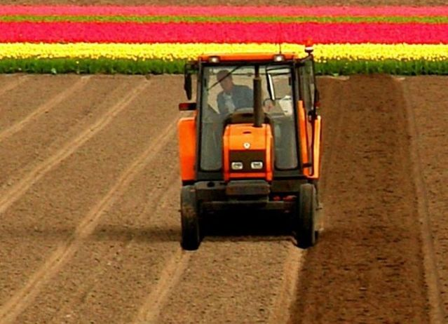 Tulip fields in Holland (43 photos)