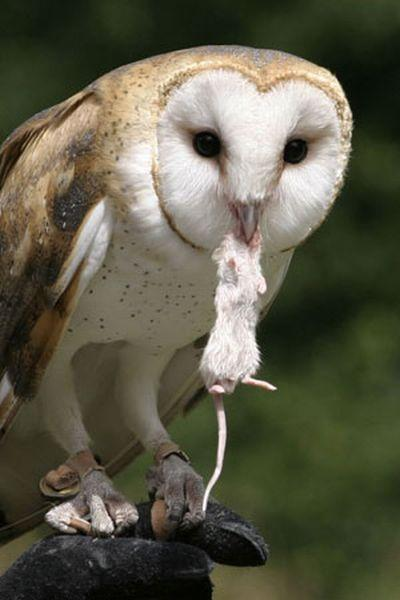 relationship between tawny owl and mice