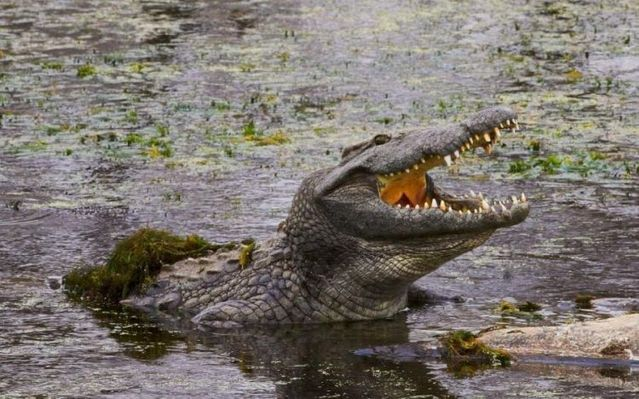 Attack of a bloodthirsty crocodile (10 pics)