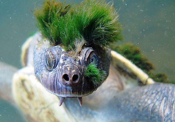 Punk-turtle (12 pics)