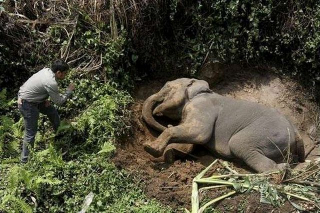 Baby elephant was ran over (6 pics)