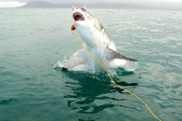White shark leaps (7 pics)