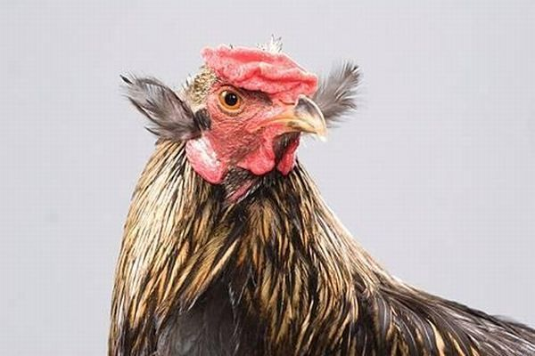 Beautiful chickens around the world (17 pics)