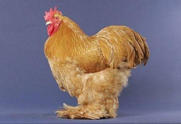 Beautiful chickens around the world (17 pics)