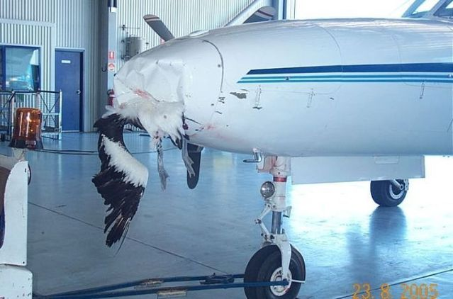 Mid-air collisions with birds (25 pics)