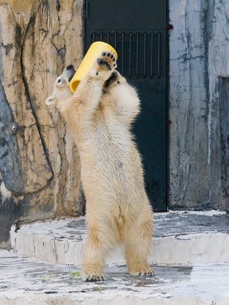 Polar bears know how to have fun (6 pics)
