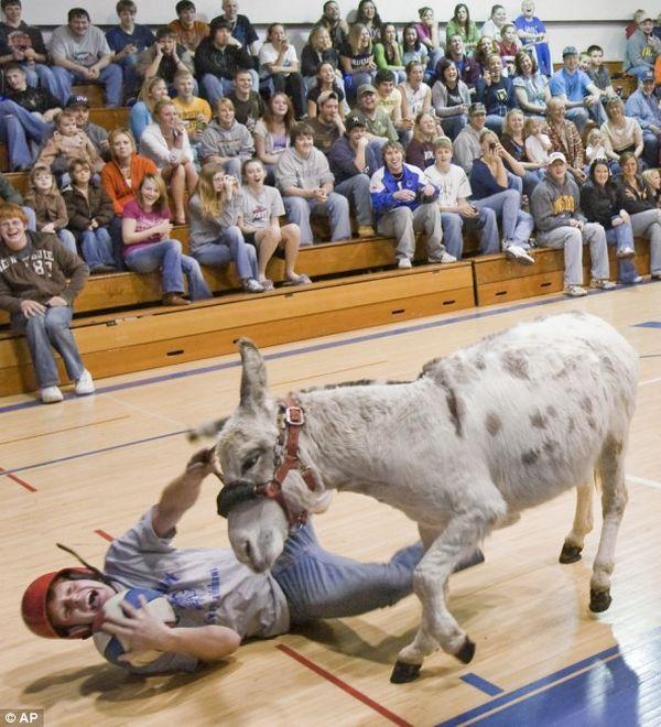 Donkey basketball (5 pics)