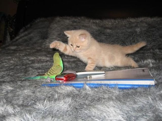 Story of a kitten and a parrot (14 pics)