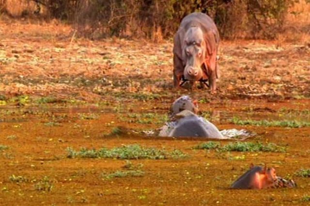 The study of hippos in their natural environment (7 pics)