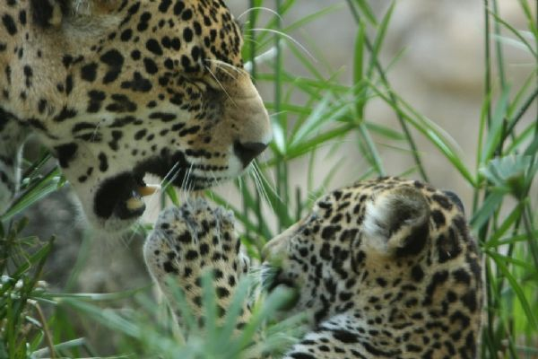 Baby jaguar and his mother (25 pics)