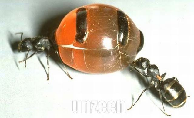 Honeypot Ants 5 Pics Izismile Com