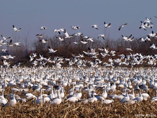 Migration (34 pics)