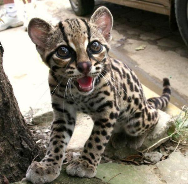 Rare species of the Felidae family (23 photos + 1 video)