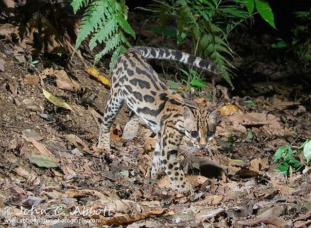 Rare species of the Felidae family (23 photos + 1 video)