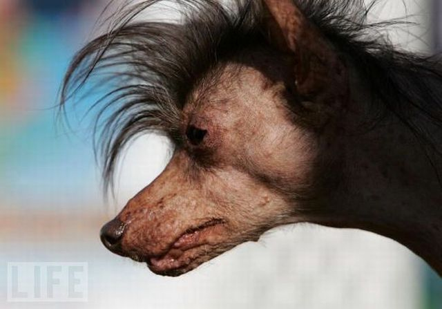 The ugliest dogs in the world (24 pics)