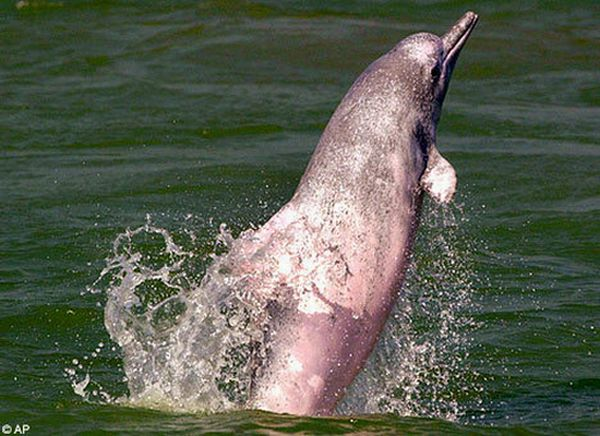Incredible River Dolphins (17 pics)