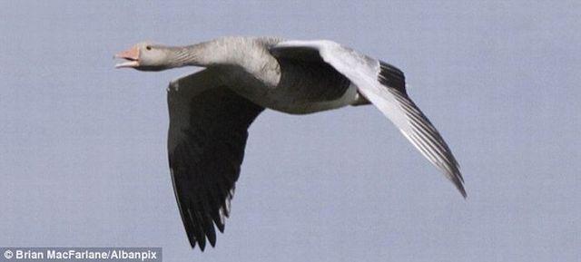Goose's incredible landing on water (4 photos)