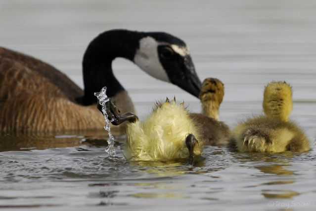 The positive emotion of the day. Duck family (4 pics)
