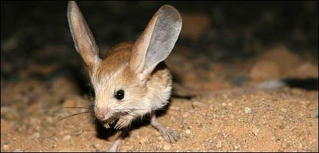Animal of the day - Jerboa (21 pics + 2 videos)