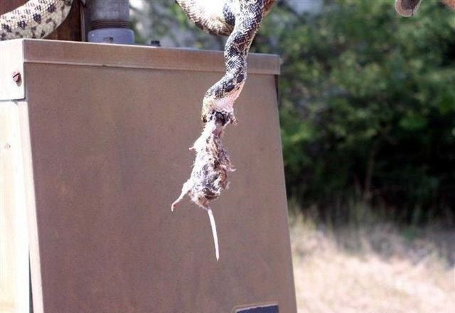 Rat's brave fight with a snake (5 pics)