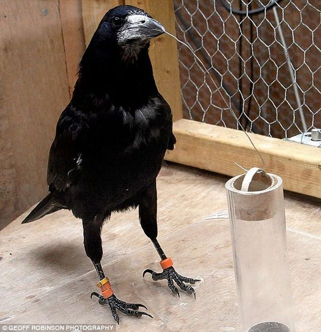 The Rook is a highly intelligent bird (4 pics)