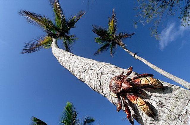 Giant coconut crab (27 pics)