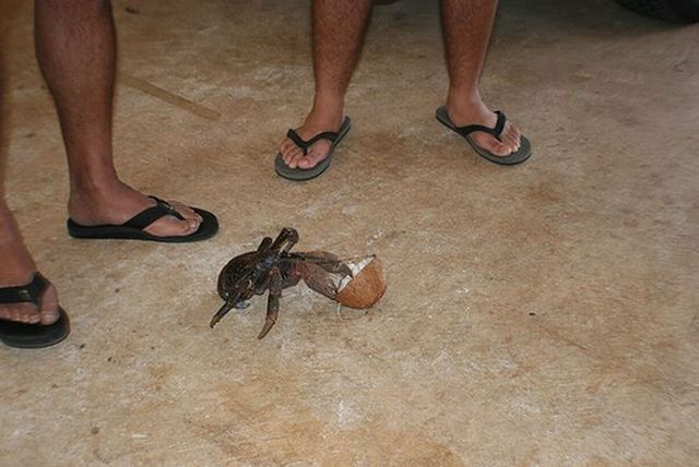 Giant coconut crab (27 pics)