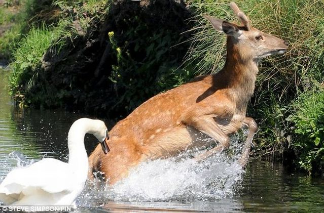 Evil swan against a young deer (5 pics)