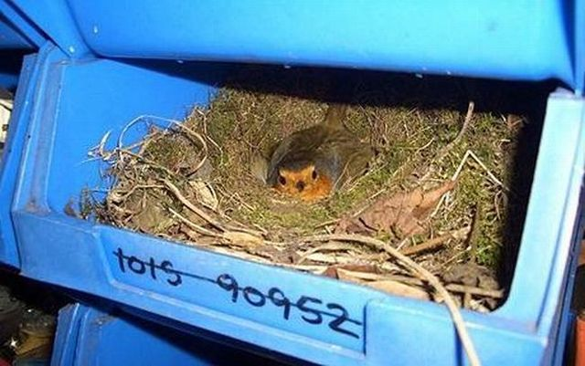 Bird nests in unusual places (14 photos)
