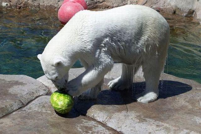 Breakfast of a polar bear (19 pics)