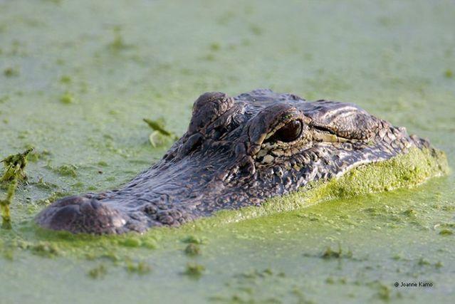 American alligators (29 pics)