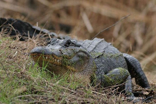 American alligators (29 pics)
