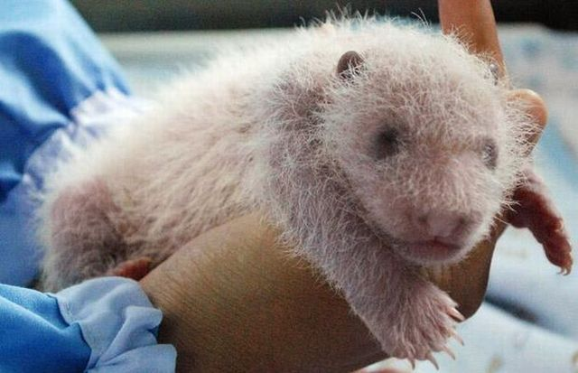 A baby panda was born at Chiang Mai zoo in Thailand (14 pics)