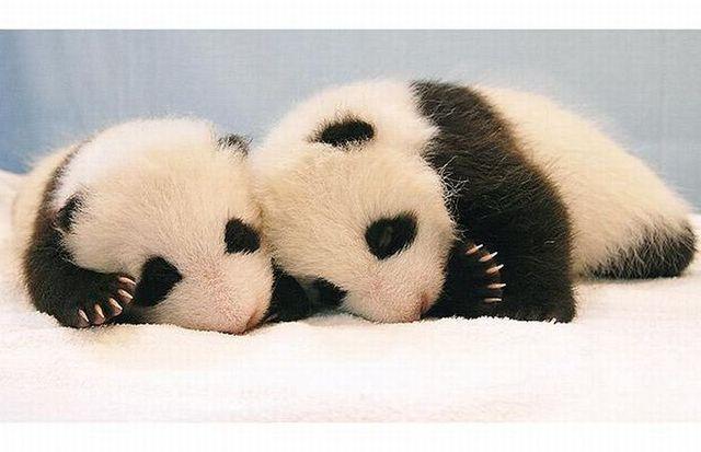 A baby panda was born at Chiang Mai zoo in Thailand (14 pics)