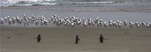 Make way for penguins! (3 pics)