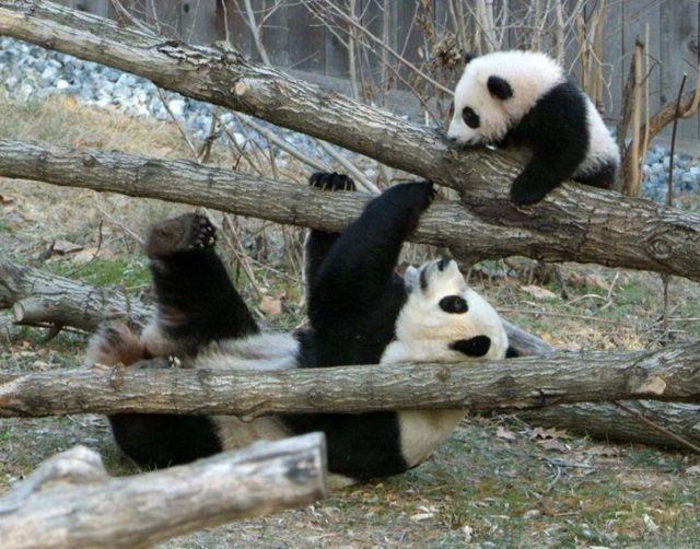 Funny and cute pandas (39 pics)