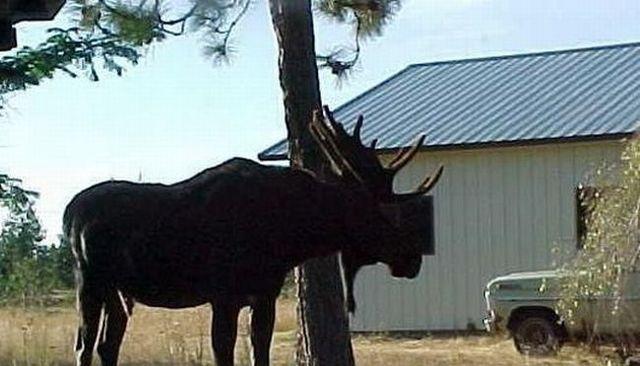 This moose got the nerve ;) (2 pics)