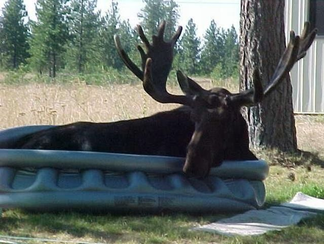 This moose got the nerve ;) (2 pics)