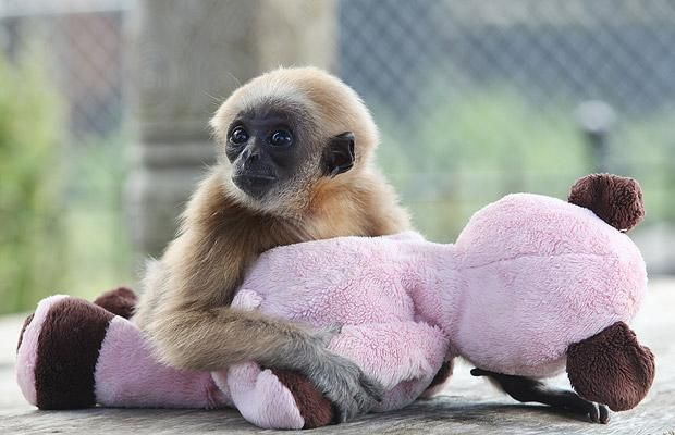 Cute baby gibbon got adopted (15 pics)