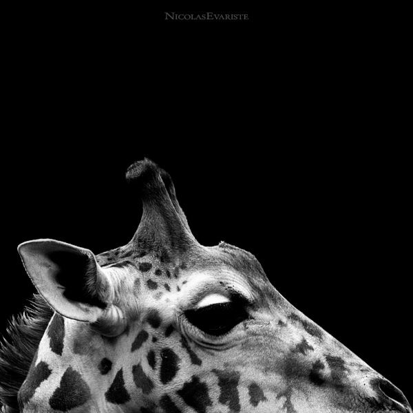 Dark Zoo by Nicolas Evariste (27 photos)