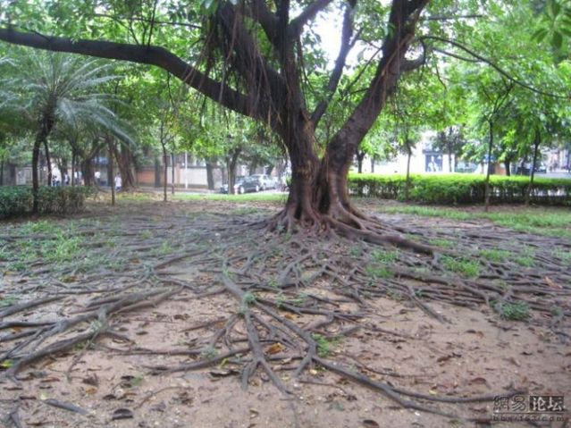 Huge tree roots (11 pics)