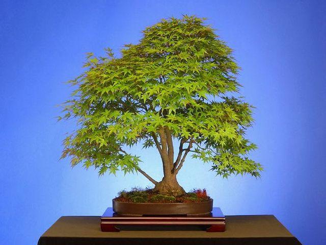 Magnificent bonsais (16 pics)