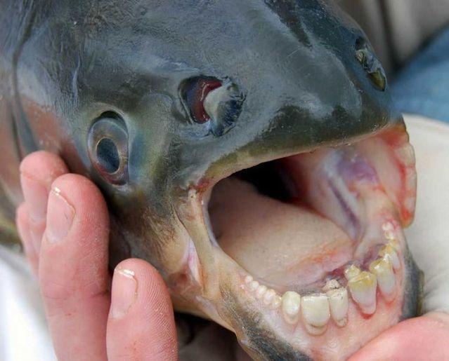 Fish with human teeth (3 photos)