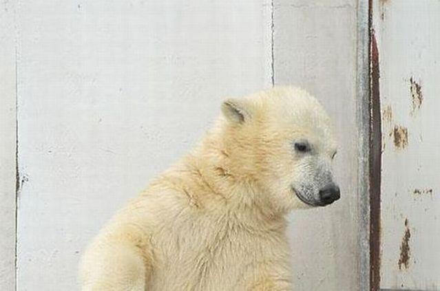 Funny dance of a polar bear (4 pics)