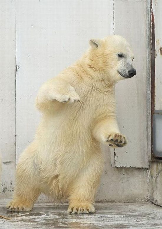Funny dance of a polar bear (4 pics)