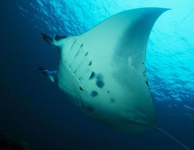 Manta ray or devilfish – a beautiful and harmless fish (11 pics)